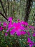 Fleurs roses d'azalée image libre de droits