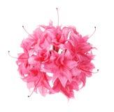 Fleurs roses d'azalée Images libres de droits