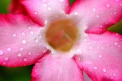 Fleurs roses d'azalée avec la gouttelette d'eau Images stock