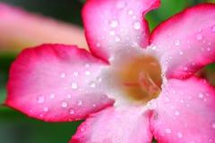 Fleurs roses d'azalée avec la gouttelette d'eau Photo libre de droits