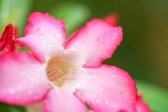 Fleurs roses d'azalée avec la gouttelette d'eau Photo stock