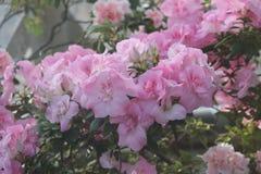 Fleurs roses d'azalées Image stock