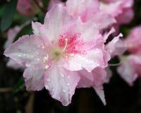Fleurs roses d'azalée Photos stock