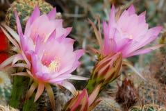 Fleurs roses d'echinopsis Photos libres de droits