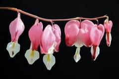 Fleurs roses d'Enkianthus dans l'obscurité Photographie stock libre de droits