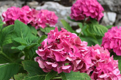 Fleurs roses d'hortensia Images libres de droits