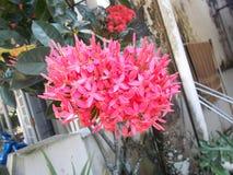 fleurs roses d'ixora Photo libre de droits
