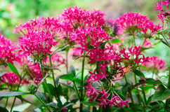fleurs roses d'ixora Image stock
