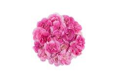 Fleurs roses d'oeillet de cercle Image stock