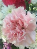 Fleurs roses d'oeillet sans feuilles photos libres de droits
