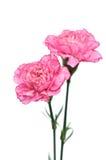 Fleurs roses d'oeillet sur le fond blanc Photographie stock