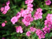 Fleurs roses d'oeillet sur le fond d'herbe Image stock