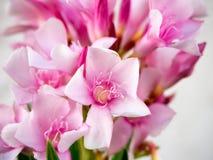 Fleurs roses d'oléandre Photos stock