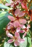 Fleurs roses d'oléandre image libre de droits