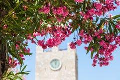 Fleurs roses d'oléandre dans la ville de Taormina Photos stock
