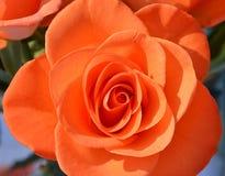 Fleurs roses d'orange dans le jardin de pays Photo stock