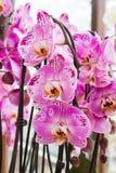 Fleurs roses d'orchidée Photos libres de droits