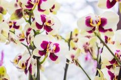 Fleurs roses d'orchidée Image libre de droits