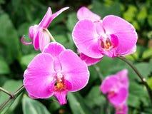 Fleurs roses d'orchidée Images stock
