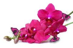 Fleurs roses d'orchidée avec des papillons sur le blanc Photos stock