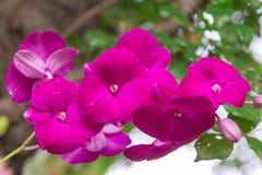 Fleurs roses d'orchidée avec le fond naturel de bokeh Images stock