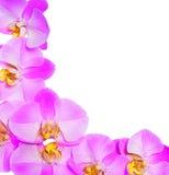 Fleurs roses d'orchidée d'isolement Image libre de droits