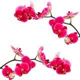 Fleurs roses d'orchidée, d'isolement Images stock