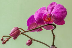 Fleurs roses d'orchidée de Phalaenopsis aka Doritaenopsis Photographie stock libre de droits
