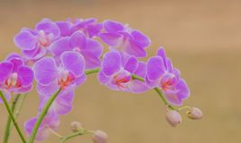 Fleurs roses d'orchidée sur le fond brouillé Image libre de droits