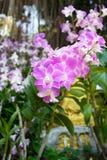 Fleurs roses d'orchidées Photographie stock libre de droits