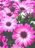 Fleurs roses d'Osteospermum, marguerite africaine Photos libres de droits