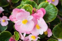 Fleurs roses dans des pots Photos libres de droits