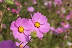 Fleurs roses dans l'abattage de forêt cassé Photo stock