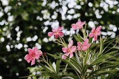 Fleurs roses dans la vallée photos libres de droits