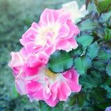 Fleurs roses dans le jardin Images libres de droits