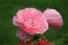 Fleurs roses dans le jardin Photo libre de droits