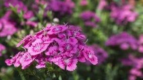 Fleurs roses dans le jardin Photo stock