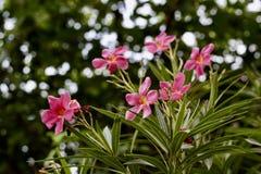 Fleurs roses dans les domaines photographie stock