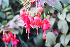 Fleurs roses dans les jardins par la baie images libres de droits