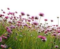 Fleurs roses dans un domaine Photo stock