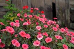 Fleurs roses dans un jardin de vintage images libres de droits