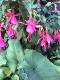 Fleurs roses de ballerine Photo libre de droits
