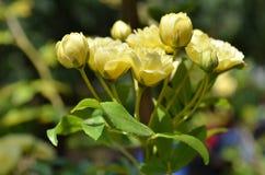 Fleurs roses de Banksia de jaune pâle Image stock