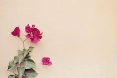 Fleurs roses de bouganvillée Photos stock