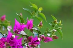 Fleurs roses de bouganvillée Image libre de droits