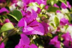 Fleurs roses de bouganvillée Image stock
