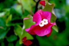 Fleurs roses de bouganvillée Photo libre de droits
