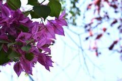 Fleurs roses de bouganvillée dans un jardin Image libre de droits