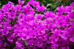 Fleurs roses de bouganvillée Images libres de droits