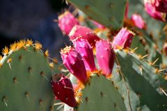 Fleurs roses de cactus Photographie stock